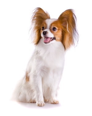 Breed Papillon