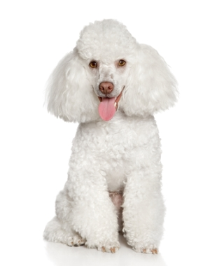 Breed Poodle