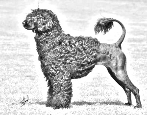 Breed Portuguese Water Dog
