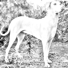 Breed Rajapalayam