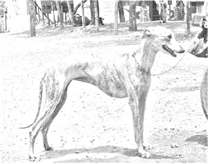 Breed Rampur Greyhound