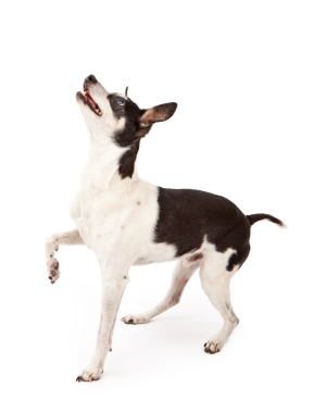 Breed Rat Terrier