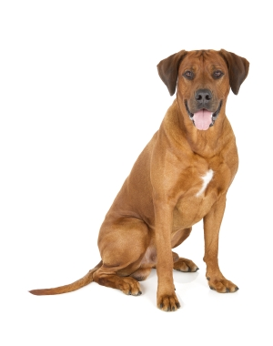 Breed Rhodesian Ridgeback