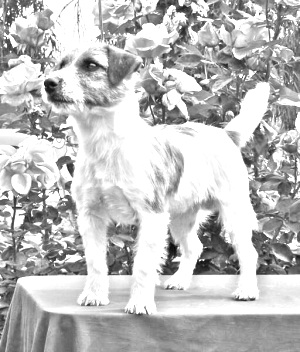 Breed Russell Terrier