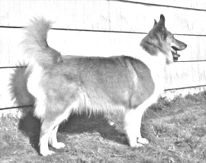 Breed Scotch Collie