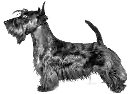 Breed Scottish Terrier