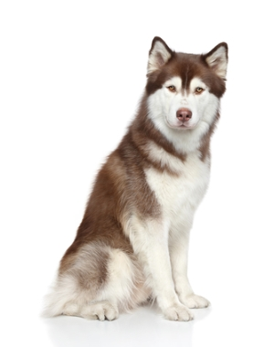 Breed Siberian Husky