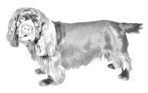 Breed Sussex Spaniel