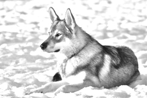 Breed Tamaskan Dog