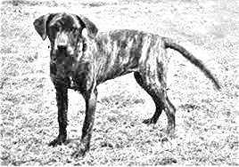 Breed Tennessee Treeing Brindle
