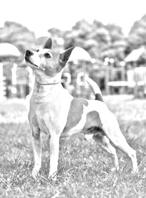 Breed Tenterfield Terrier