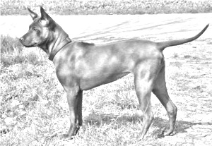 Breed Thai Ridgeback
