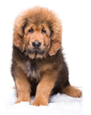 Breed Tibetan Mastiff