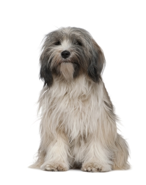Breed Tibetan Terrier