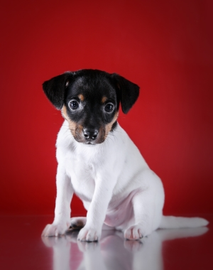 Breed Toy Fox Terrier