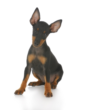 Breed Toy Manchester Terrier