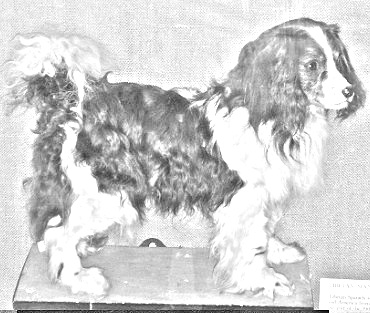 Breed Toy Trawler Spaniel