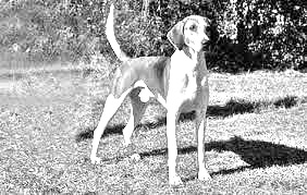 Breed Trigg Hound