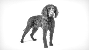 Breed Tweed Water Spaniel