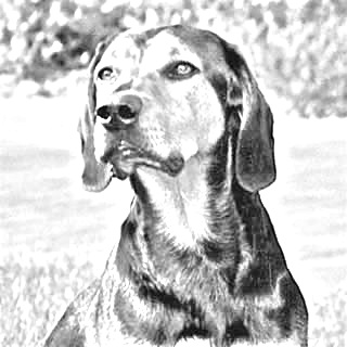 Breed Tyrolean Hound