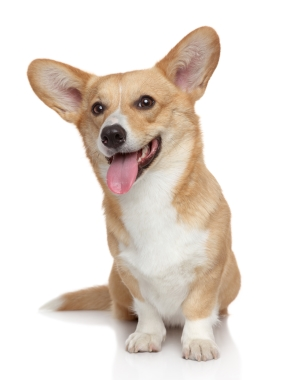 Breed Welsh Corgi, Pembroke