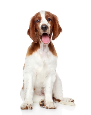 Breed Welsh Springer Spaniel
