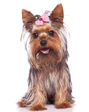 Breed Yorkshire Terrier