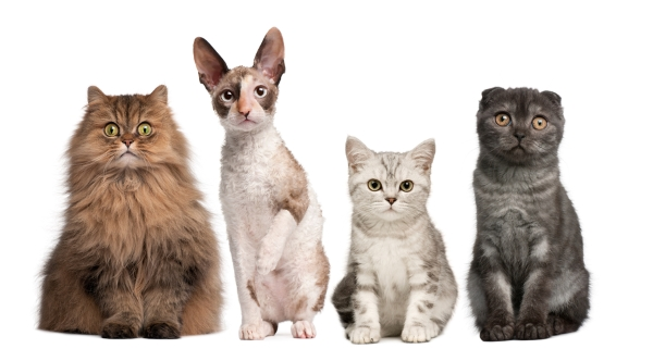 all cat breeds information