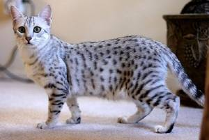 egyptian-mau-best-friend-of-the-family.jpg