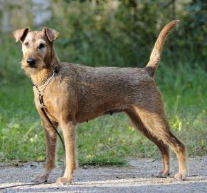 irish-terrier-everything-you-wanted-to-know-about-the-breed.jpg