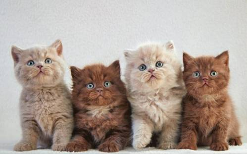 choosing-a-british-kitten.jpg