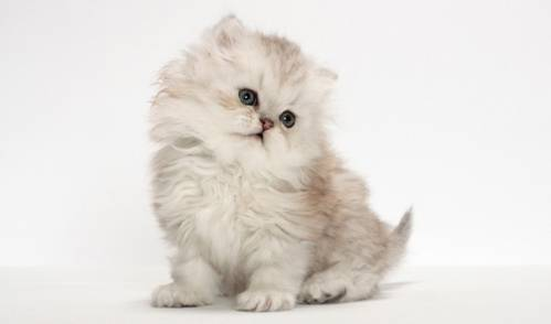 choose-a-persian-kitten.jpg