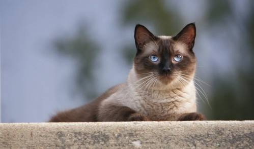 siamese-cats-a-brief-description-of-the-breed.jpg