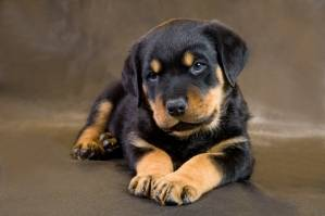 dog-breed-rottweiler.jpg