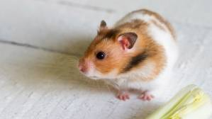 7-reasons-for-choosing-a-hamster-as-a-pet.jpg