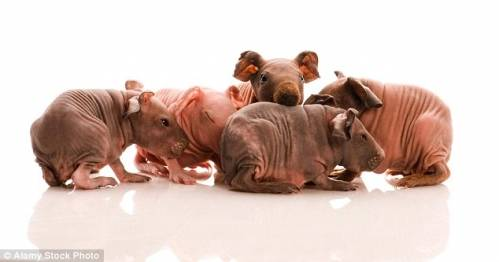 7-quot-pros-quot-and-7-quot-cons-quot-of-buying-bald-sphynx-rat.jpg