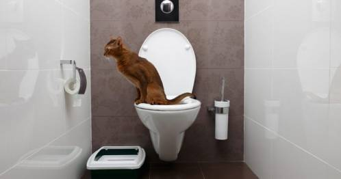 accustoming-the-cat-to-the-toilet.jpg