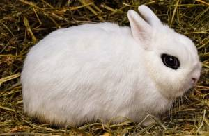 pygmy-fancy-rabbits-how-to-take-care-of-them.jpg
