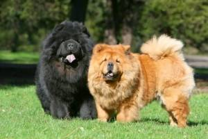 the-most-expensive-dog-breed-1.jpg