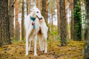 Information about Afghan Hound, Dog breeds