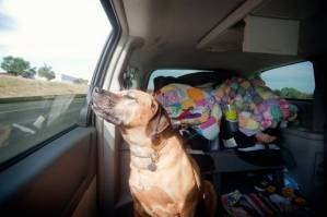 canine-dog-car-sickness-2.jpg