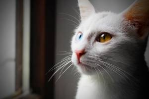 white-cat-breeds-with-different-eyes.jpg