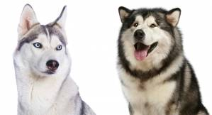husky-breed.jpg