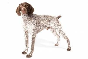 german-pointer.jpg