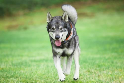 Hunting Dog Breed Crossword